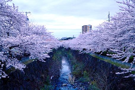 「日本さくら名所100選」の1つ名古屋・山崎川。
